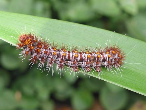Identifying Australian Caterpillars