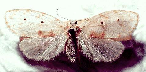 Schistophleps albida