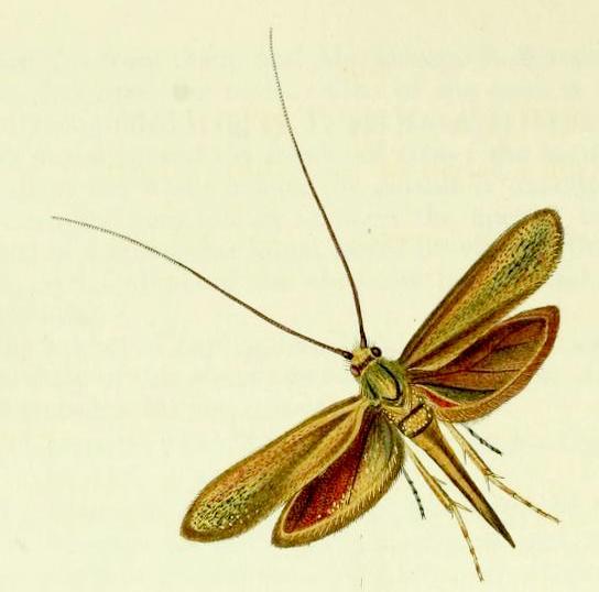 Coleophora frischella