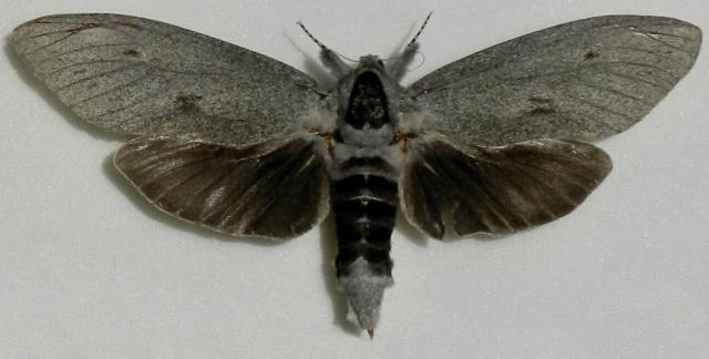 Endoxyla cinereus