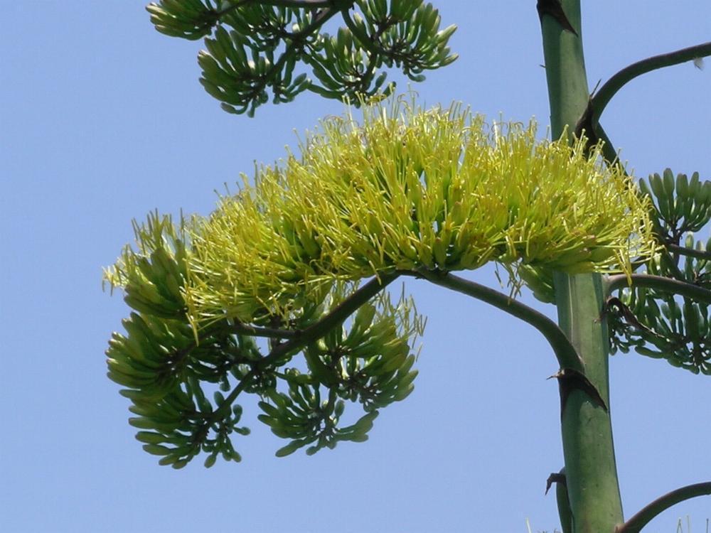 Australian Agavaceae