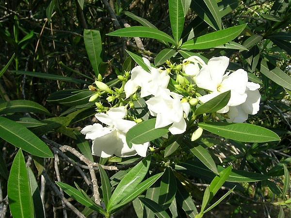 Nerium oleander white oleander mightylinksfo