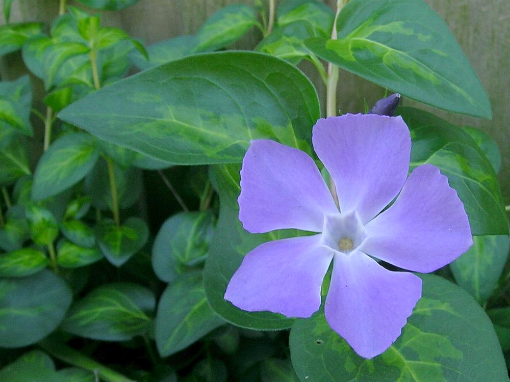 Australian apocynaceae for Vinca major