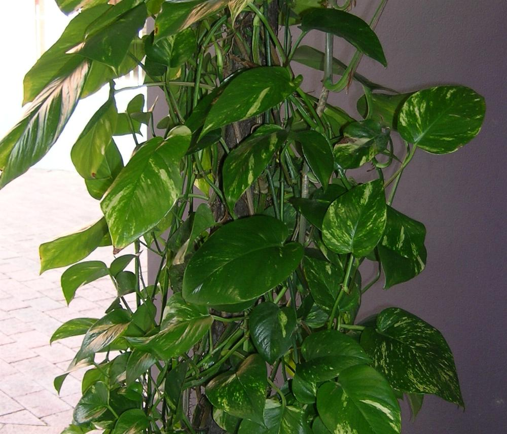 ||How to prune a red philodendron|| - ||philodendron ...