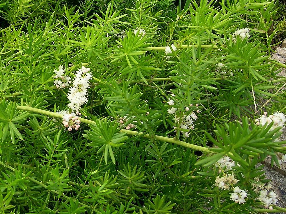 Australian Asparagaceae