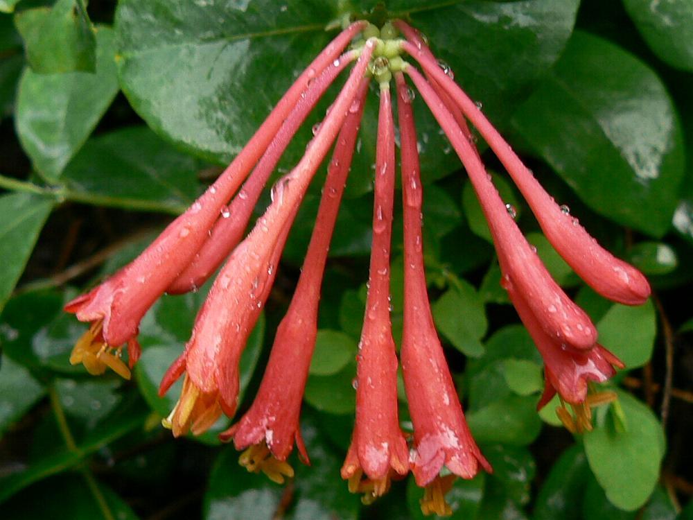 Australian Caprifoliaceae