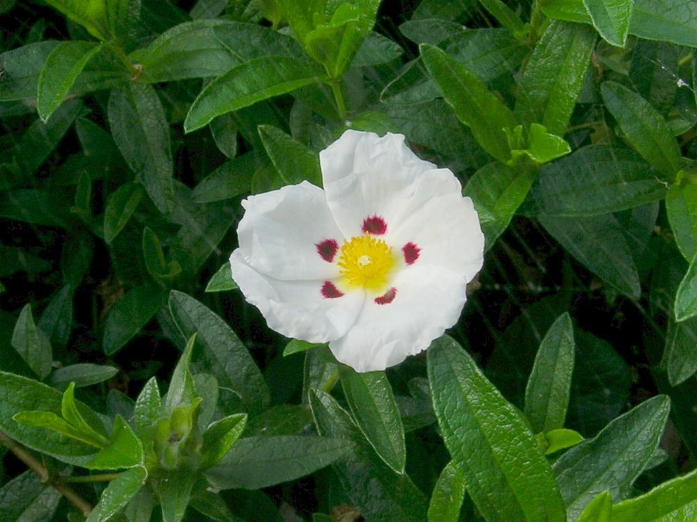 Australian Cistaceae