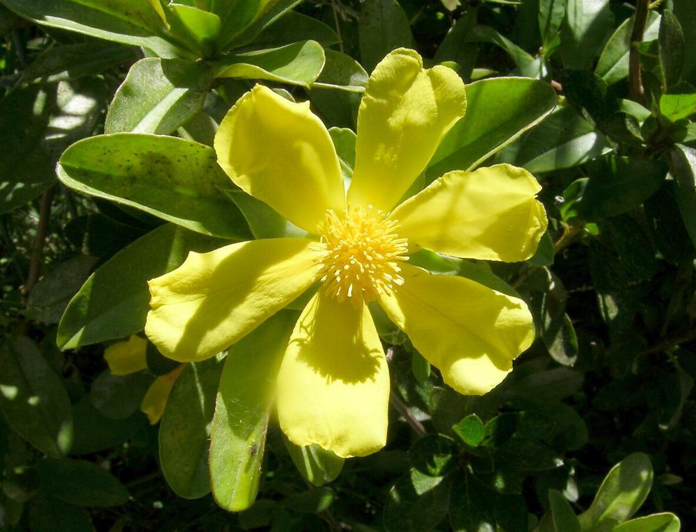 Australian Dilleniaceae