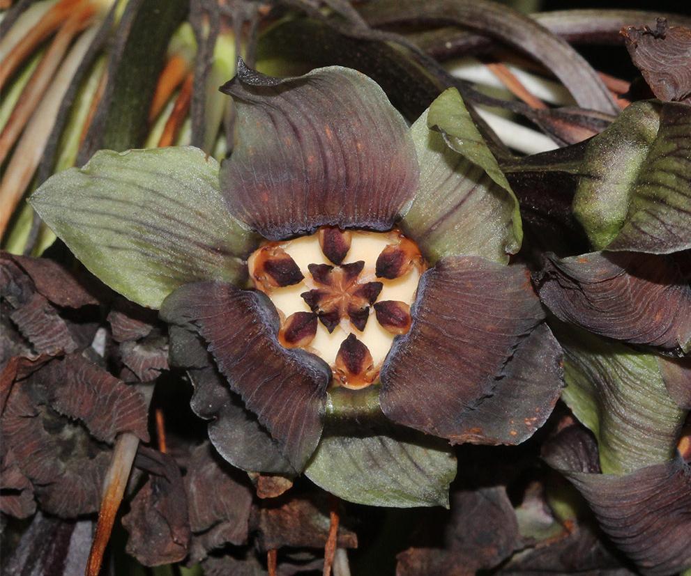 Australian Dioscoreaceae