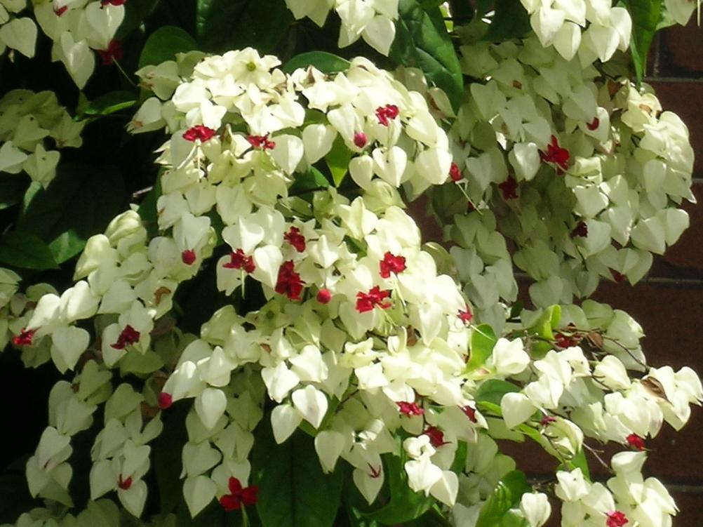 Australian Lamiaceae