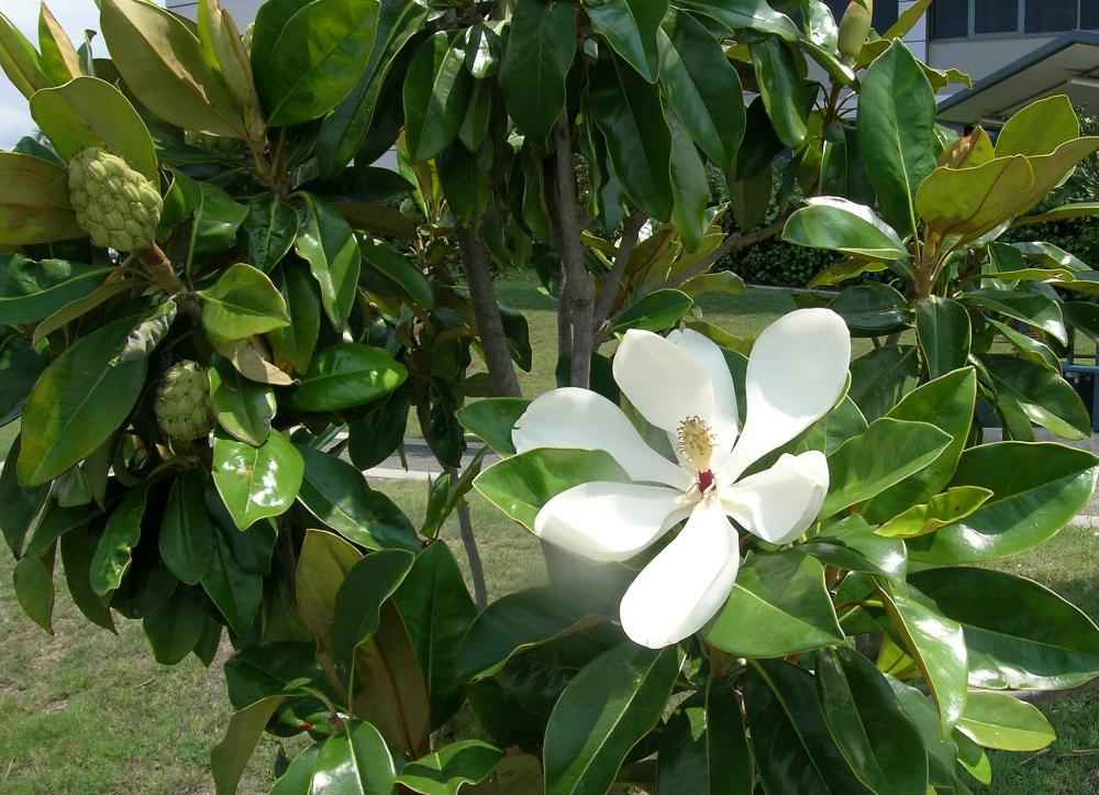 southern magnolia trees for sale video search engine at. Black Bedroom Furniture Sets. Home Design Ideas