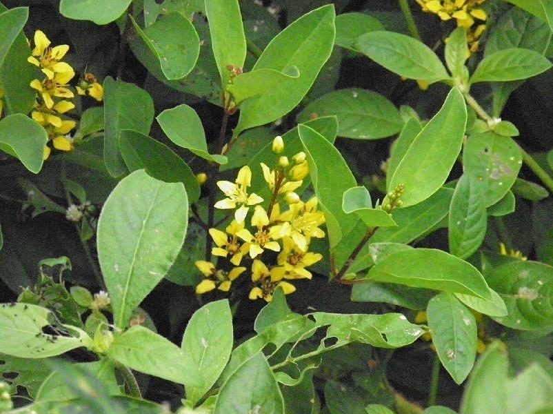 Australian Malpighiaceae