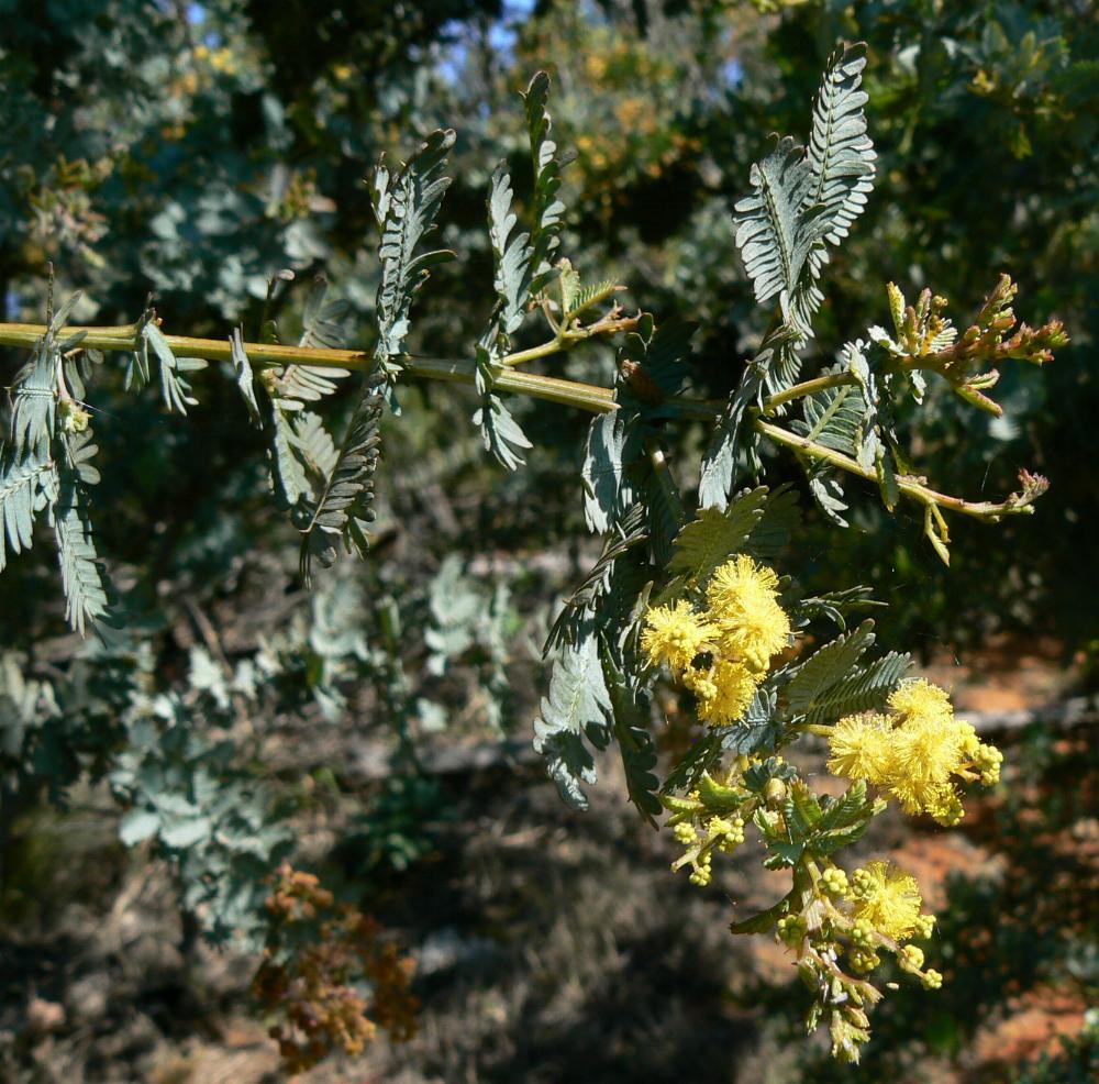 Australian Mimosaceae