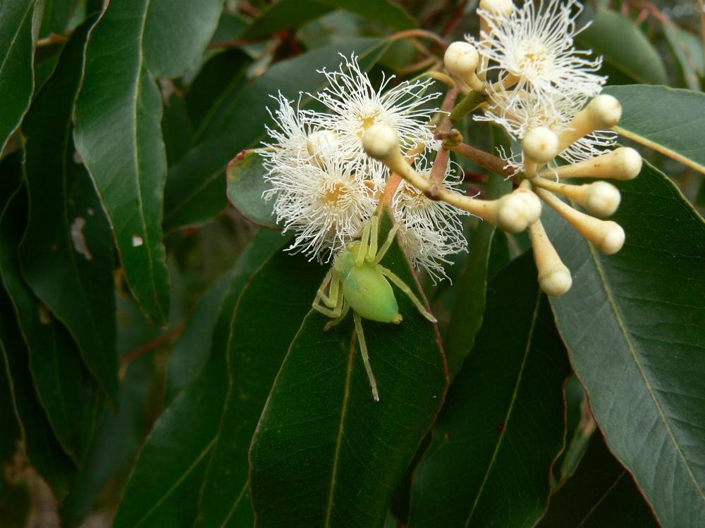 Australian Myrtaceae