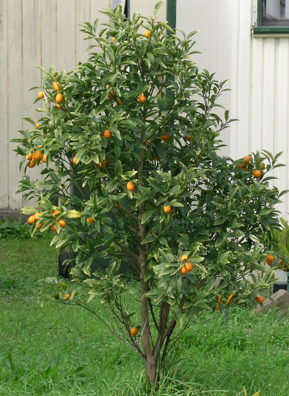 Google images for Plante kumquat