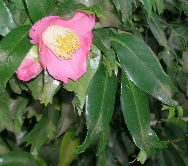 australian theaceae