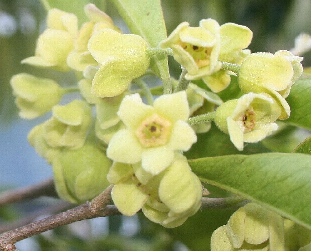 australian thymelaeaceae