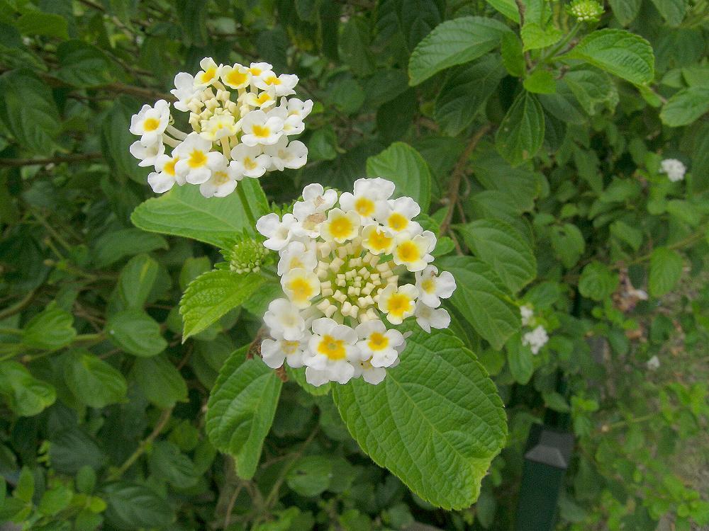 Australian Verbenaceae