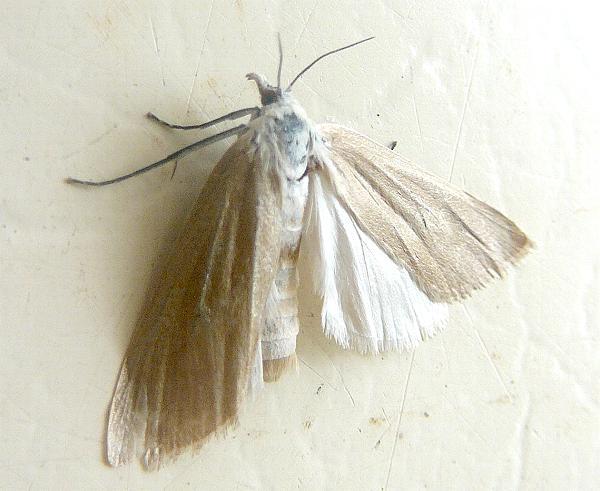 Scirpophaga imparellus