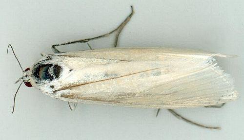 Imagoes Of Australian Schoenobiinae